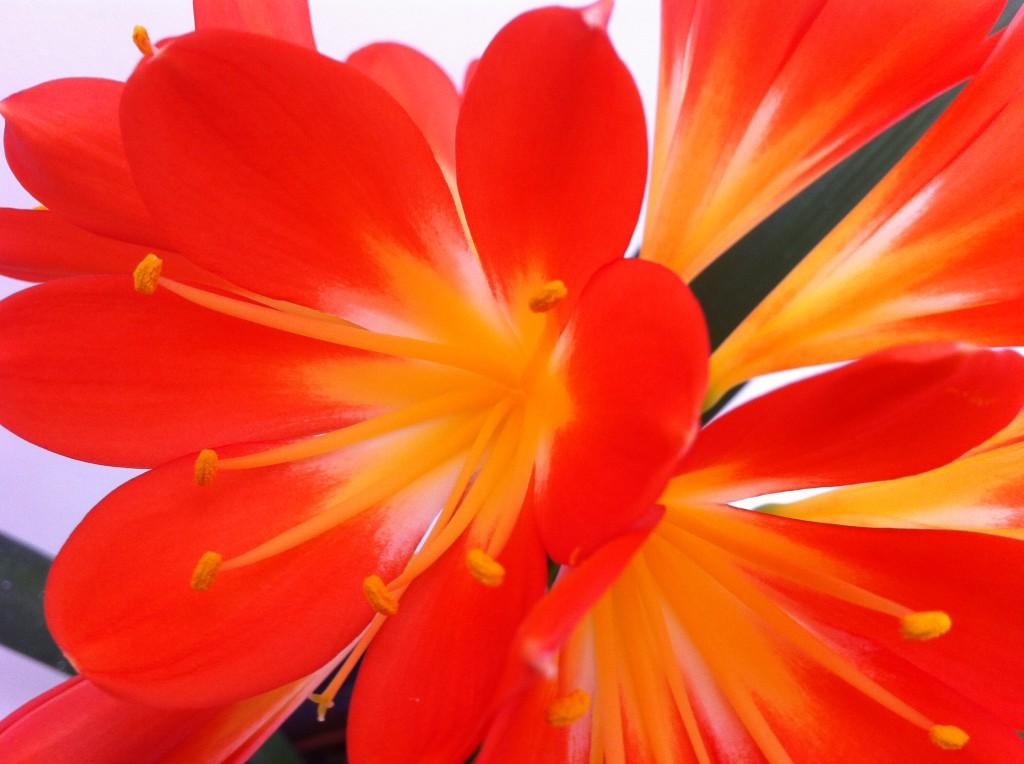 clivia houseplant