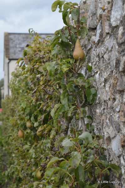 pears growing against a wall