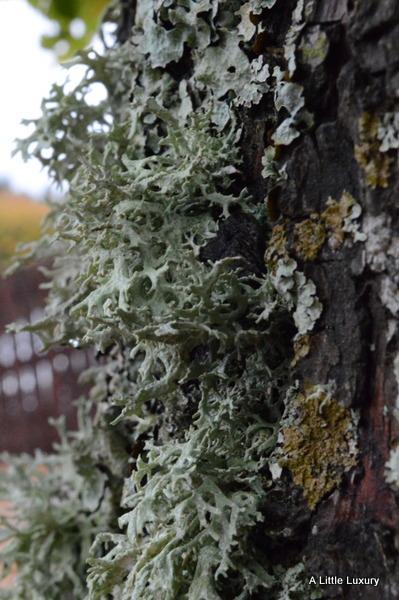 lichen on trees