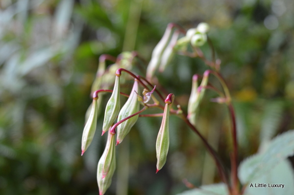 himayalan balsam seed pods